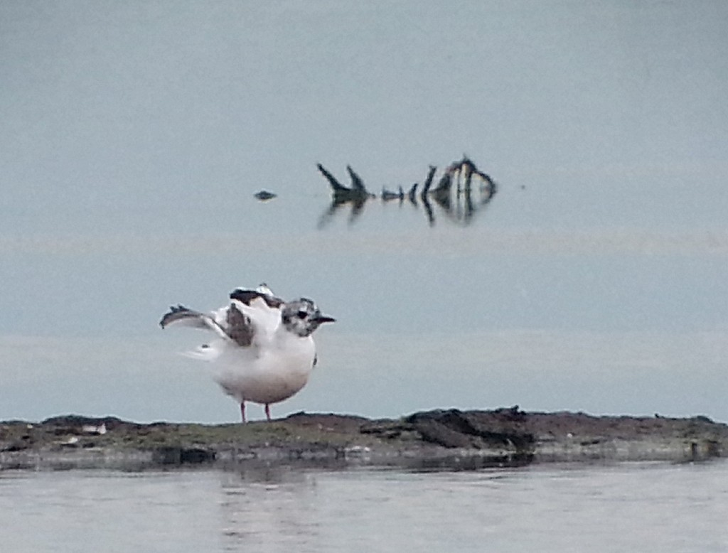 CCR Little Gull Pack S4 22052016