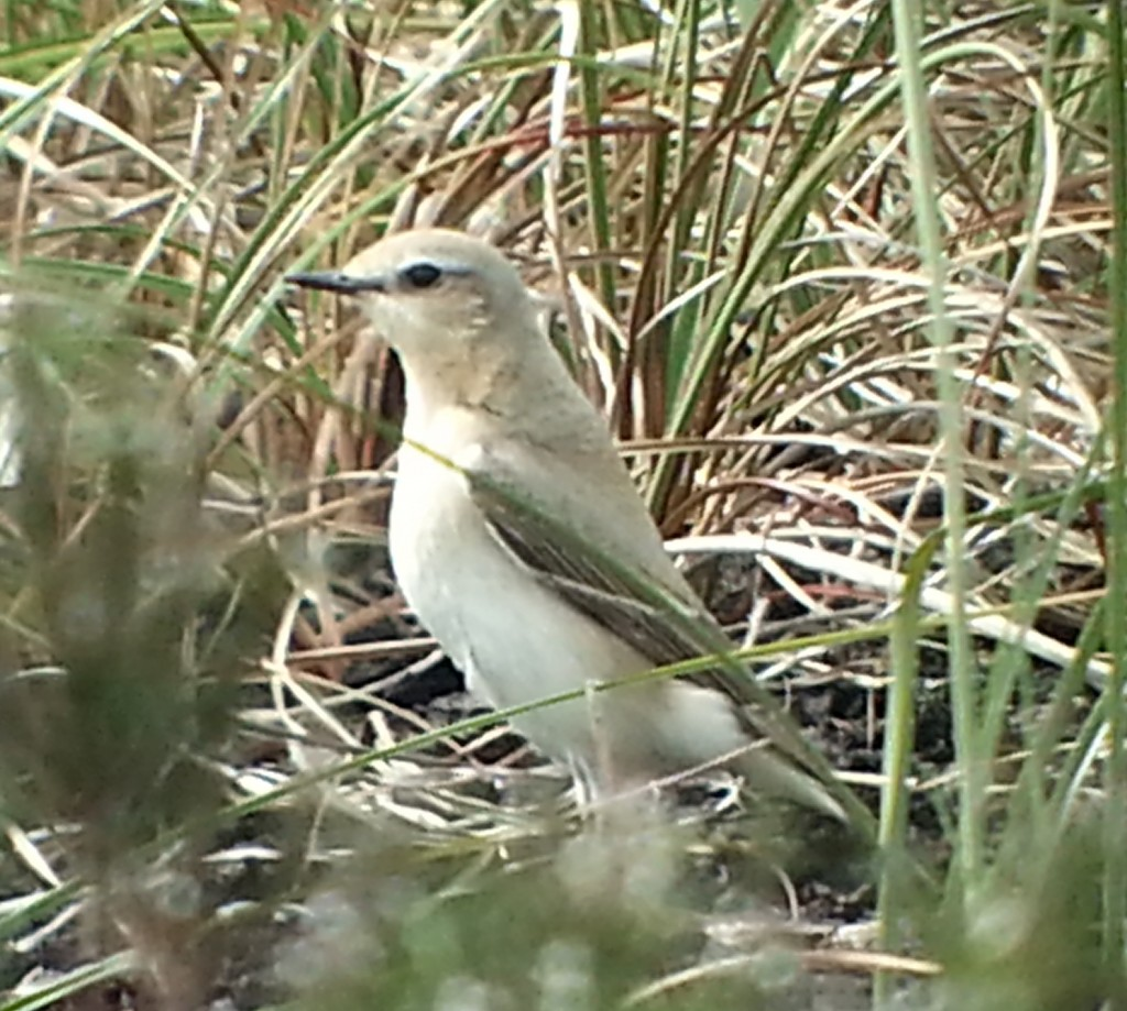 CCR Wheatear on PS 22052016
