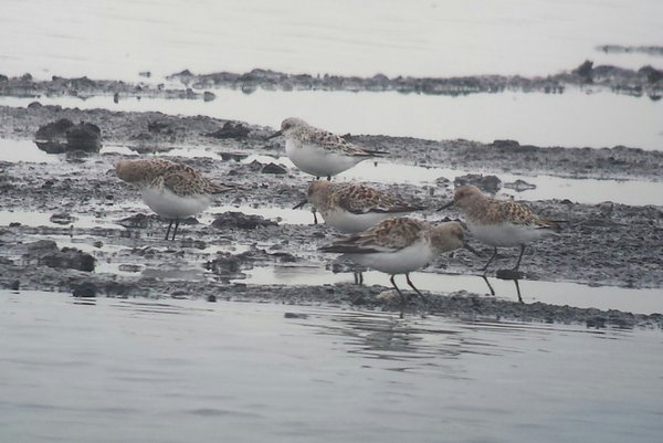 JW Some of the 17 Sanderling on HM 26052016