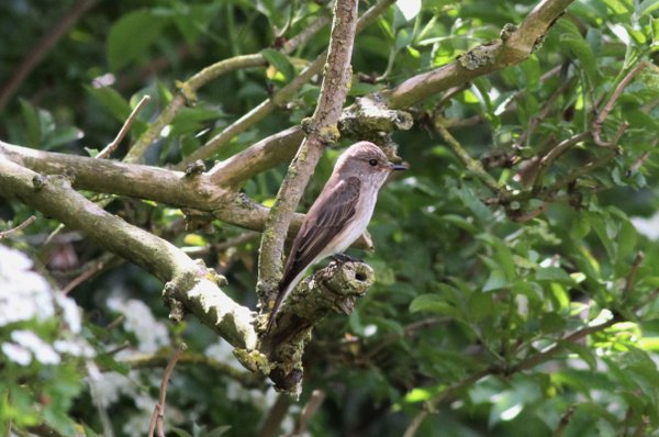 SF Spotted Flycatcher at Misson 22052016