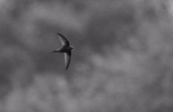Digiscoped Swift today at Hagg Lane Flash © Justin Carr 2016