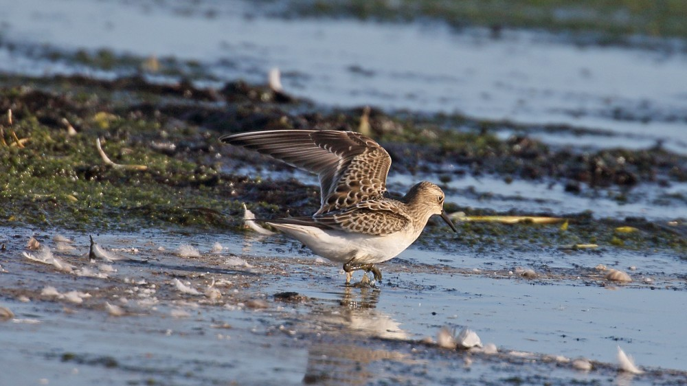 Another shot of the Baird's Sandpiper © Jim Welford 2016