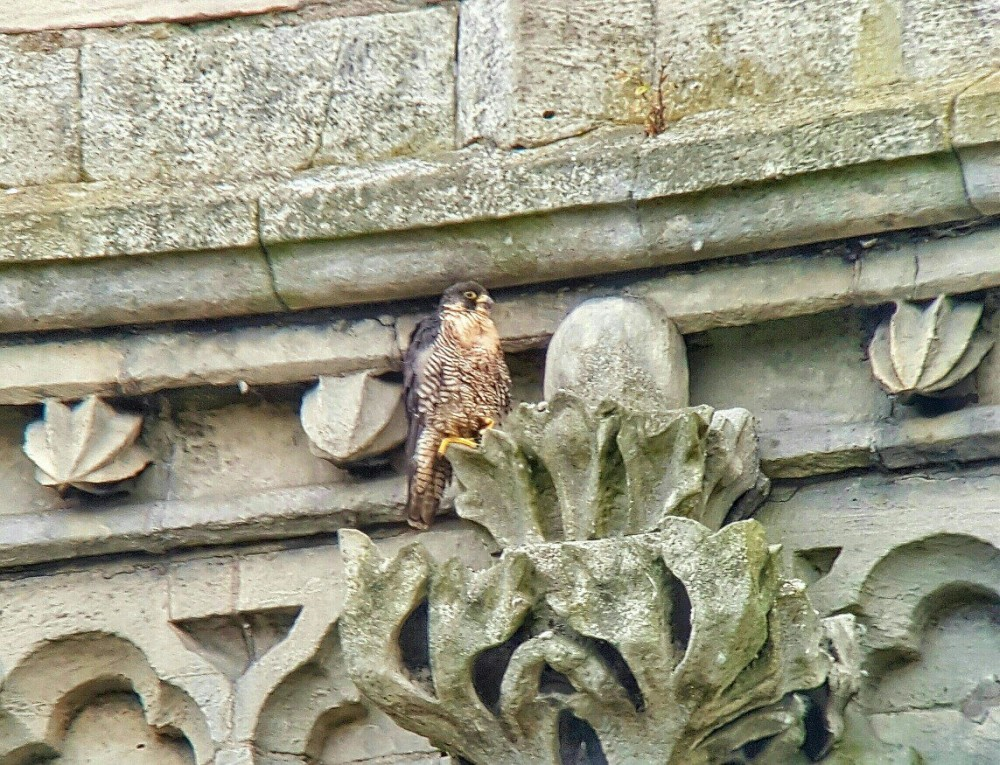 The Peregrine on Doncaster Minster this afternoon © Ryan McClarence 2016